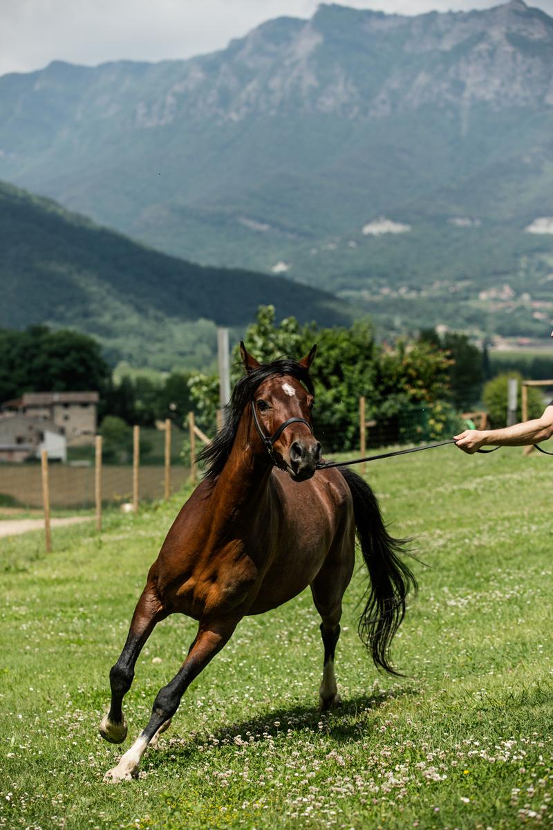 Terçera imatge de la secció Cavalls àrabs