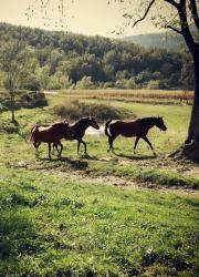 Primera imatge de la secció Cavalls àrabs